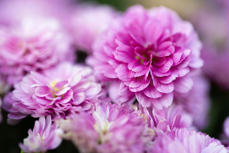 美丽的桃红色菊花当背景图片 免版税库存照片