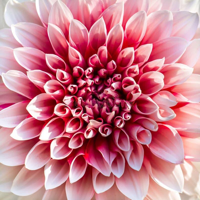 美丽的桃红色菊花花 库存照片