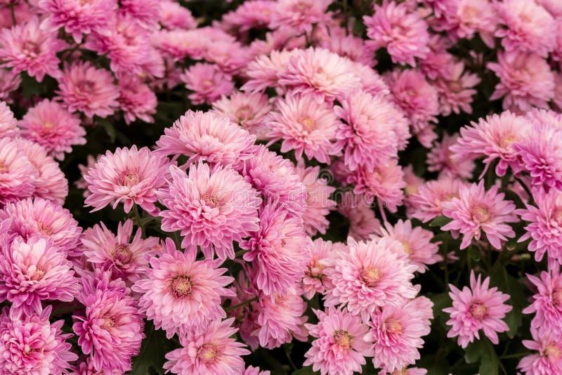 美丽的桃红色菊花Dendranthemum grandifflora花 免版税库存照片