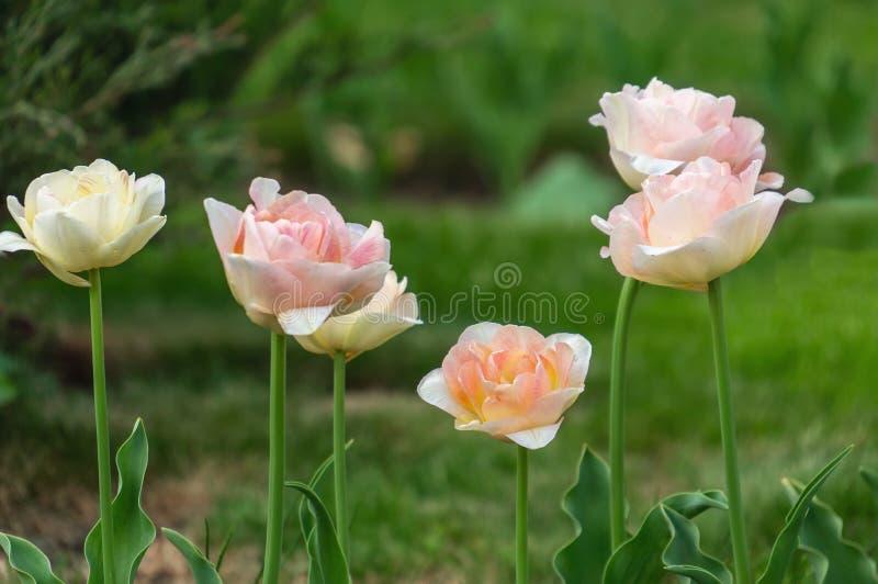 美丽的桃红色郁金香在城市花床上增长 r 选择聚焦,背景 库存图片