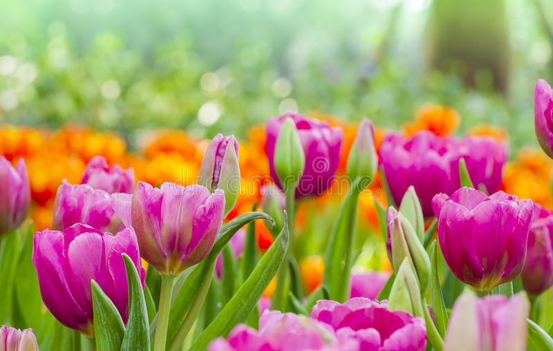 美丽的桃红色郁金香有自然背景 图库摄影