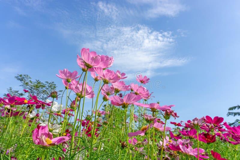 美丽的桃红色,紫罗兰色和白色波斯菊杂种开花的领域在生动的天空蔚蓝和白色云彩下的在一好日子 免版税库存照片