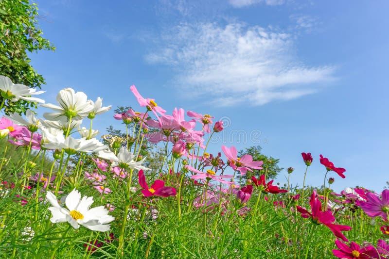 美丽的桃红色,紫罗兰色和白色波斯菊杂种开花的领域在生动的天空蔚蓝和白色云彩下的在一好日子 库存图片