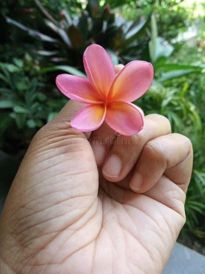 美丽的桃红色frangiprani在手中 免版税库存图片