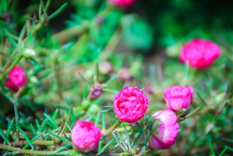 美丽的桃红色portulaca oleracea花,亦称共同的p 库存图片