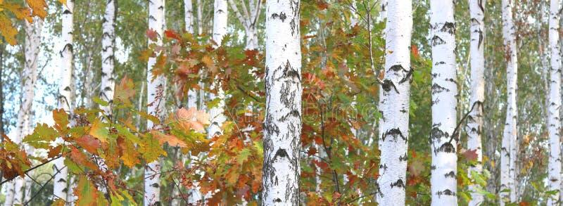 美丽的桦树在秋天 免版税库存照片