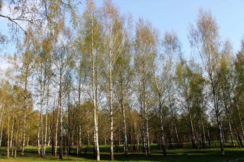 美丽的桦树树丛 免版税库存图片