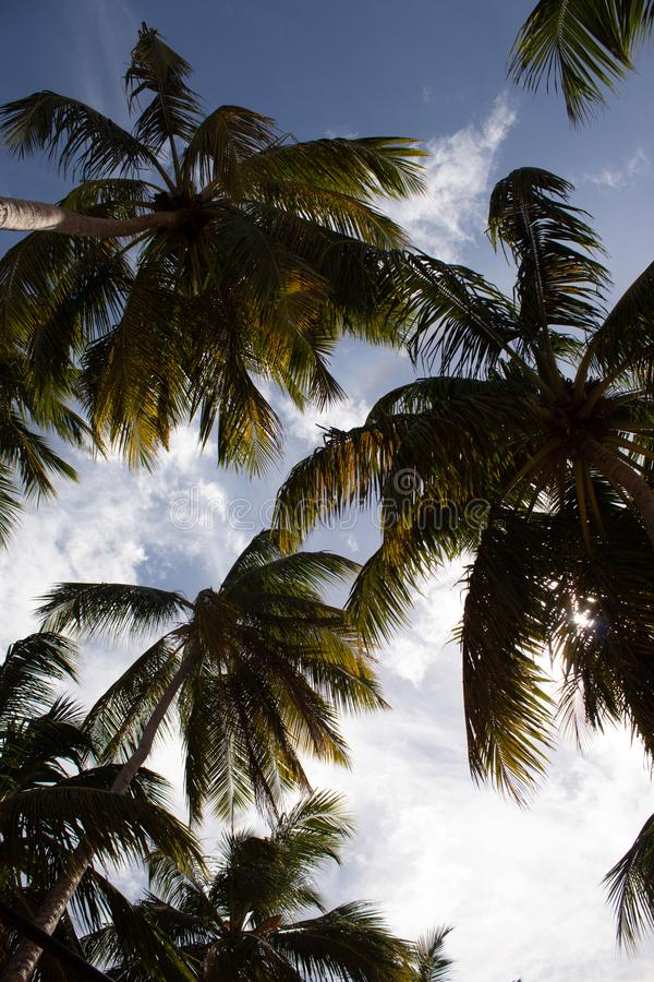 美丽的棕榈树由在狂放的多米尼加共和国的海滩的风抨击了:Playa Coson,Las Terrenas,多米尼加共和国 库存图片
