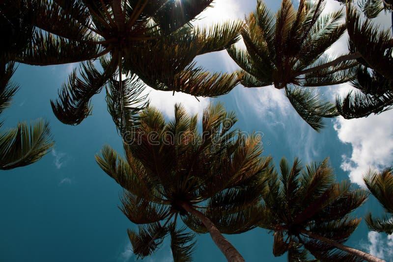 美丽的棕榈树由在狂放的多米尼加共和国的海滩的风抨击了:Playa Coson,Las Terrenas,多米尼加共和国 免版税库存图片