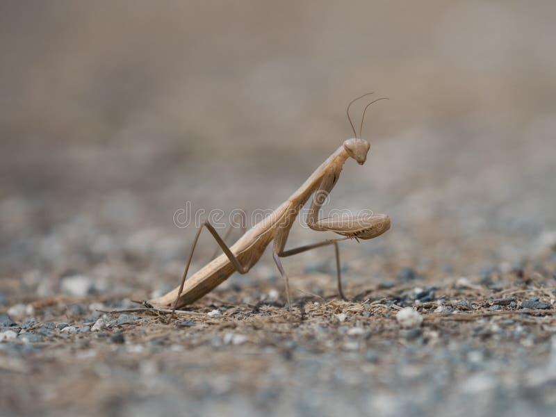 美丽的棕色和米黄色的昆虫,螳螂religiosa 图库摄影