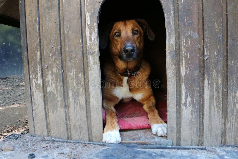 美丽的棕色大混杂的狗在他的木房子里在庭院里 图库摄影