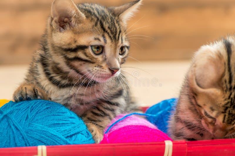 美丽的棕色孟加拉小猫画象与螺纹球的  免版税库存图片