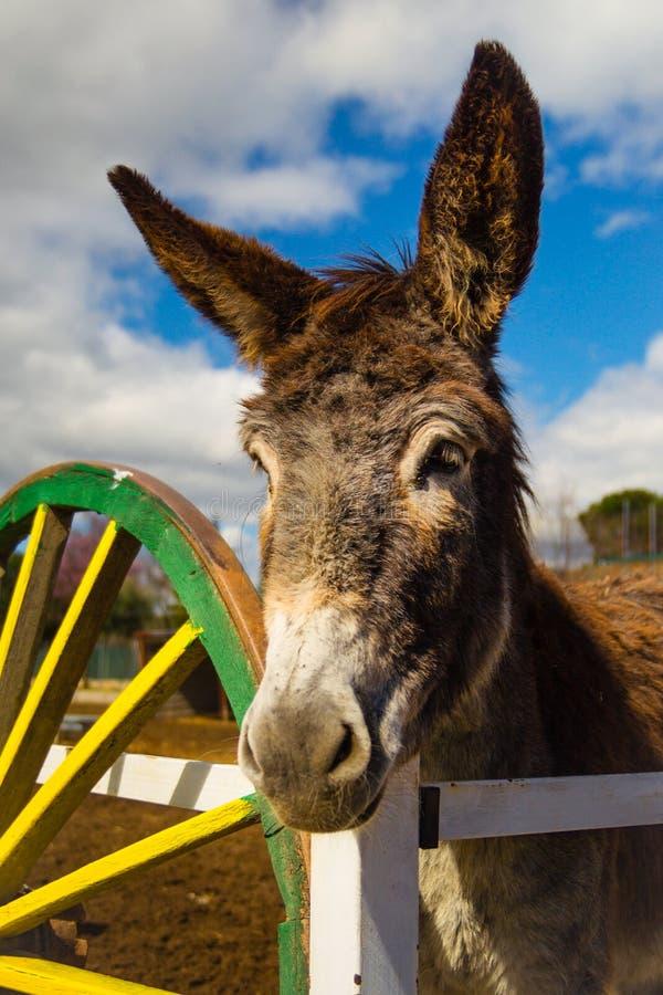 美丽的棕色幼小驴等待的红萝卜在农场 免版税库存图片