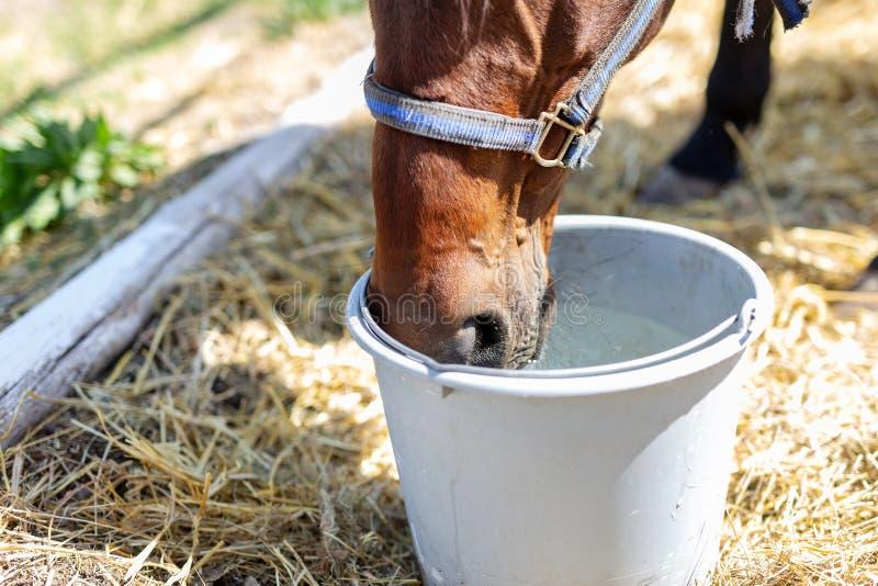 美丽的棕色良种从桶的马饮用水 在热的夏日期间,干渴 在农场的渴动物 免版税库存照片
