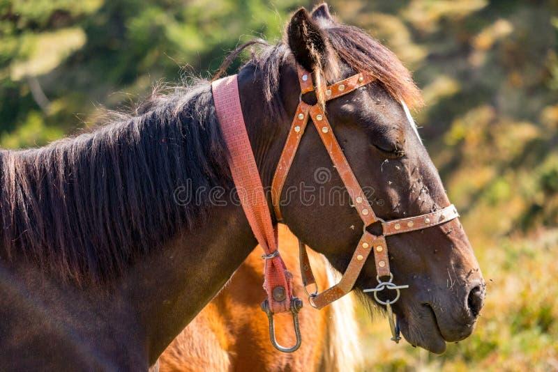 美丽的棕色马纵向 布朗在稳定的特写镜头的马头 农村大农场生活 免版税库存照片