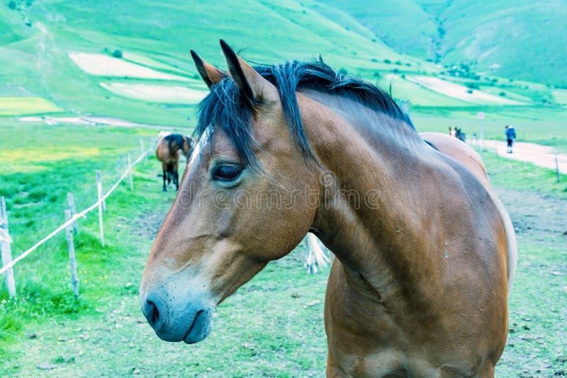 美丽的棕色马 库存图片