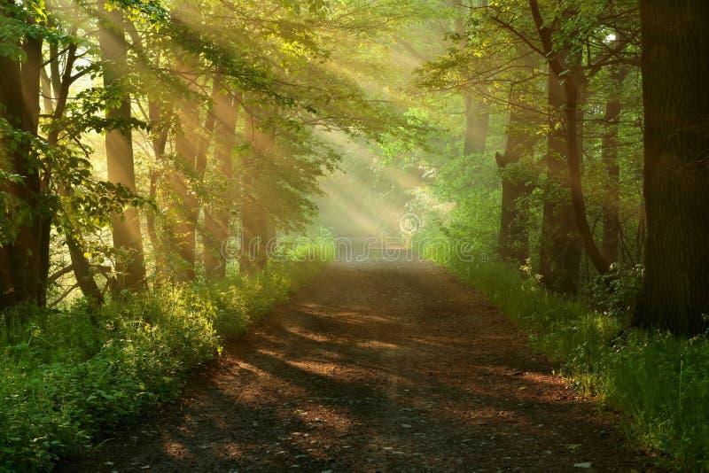 美丽的森林早晨路 免版税图库摄影