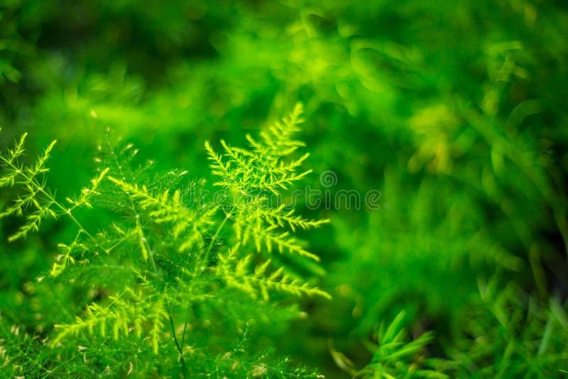 美丽的植物,文竹芦笋Setaceus 室内花 库存图片