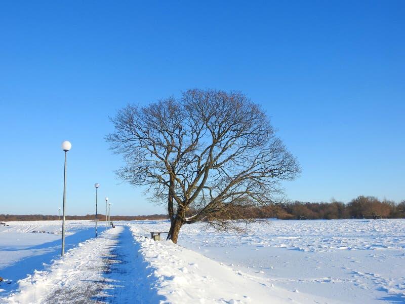 美丽的槭树在冬天,立陶宛 免版税库存图片