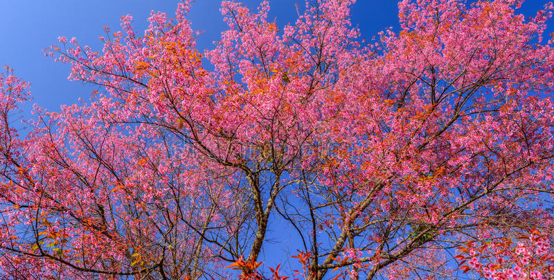 美丽的樱桃或佐仓开花在蓝天 免版税图库摄影