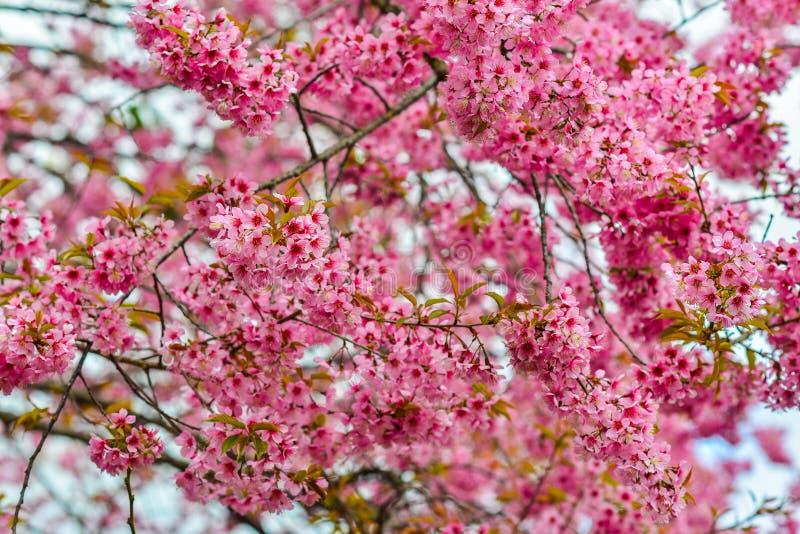 美丽的樱桃或佐仓开花 库存图片