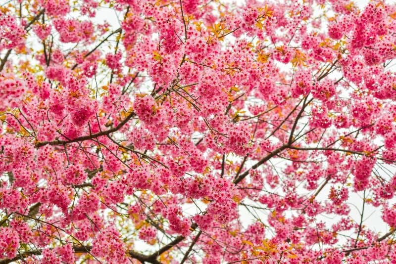 美丽的樱桃或佐仓开花 免版税库存图片