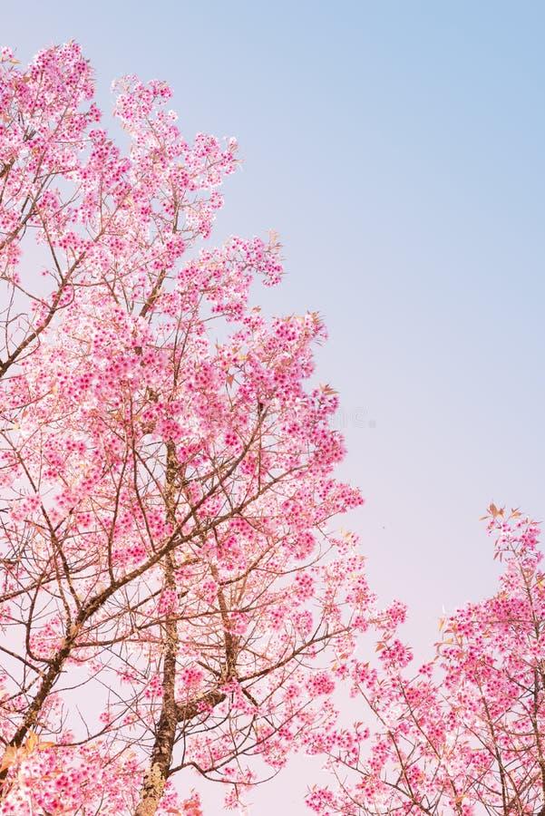 美丽的樱桃桃红色花在春天 库存图片