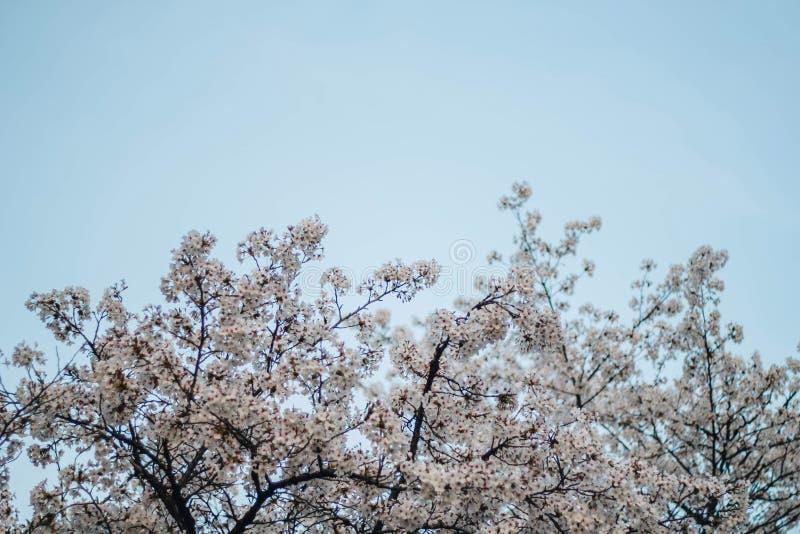 美丽的樱花佐仓 在蓝天的春天 免版税库存照片