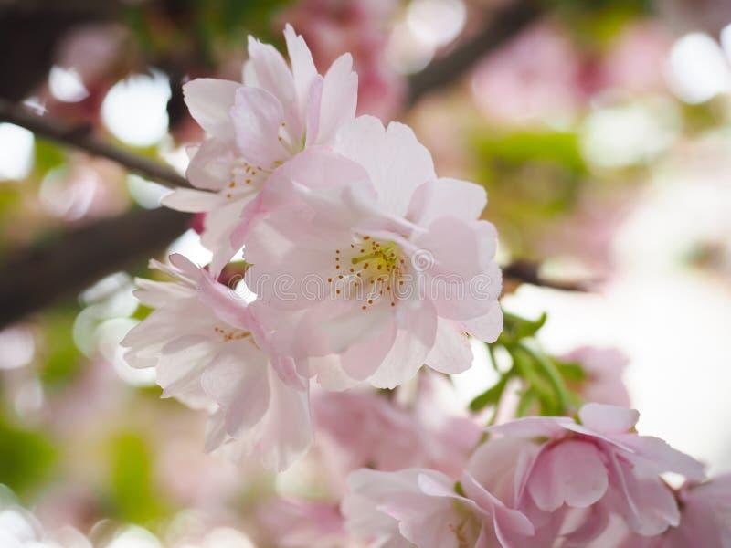 美丽的樱花在日本吸引游人 免版税库存照片