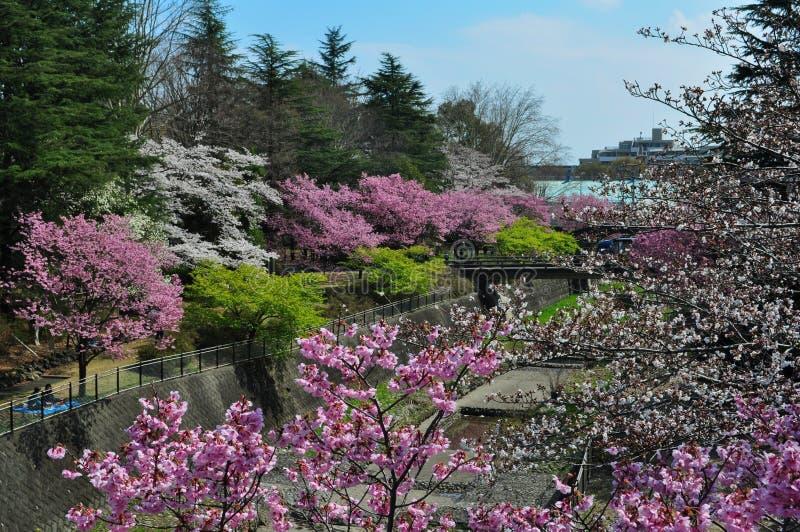 美丽的樱花在昭和纪念公园 库存图片