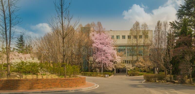 美丽的樱花树在繁茂花园里 图库摄影