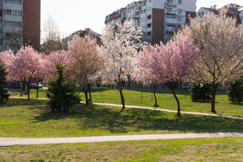 美丽的樱花桃红色树和绿色草甸有人行道的在春季在公园在好日子在城市公园 库存图片