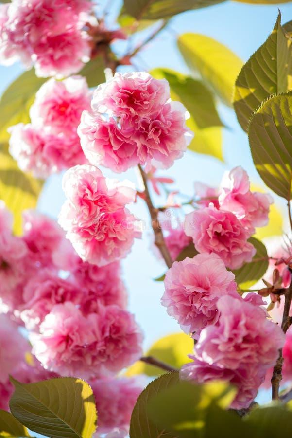 美丽的樱花,在自然背景的桃红色佐仓花 免版税库存图片
