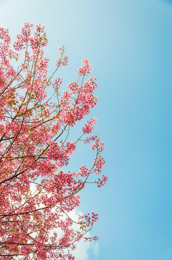美丽的樱花(佐仓),清迈,泰国 免版税库存图片
