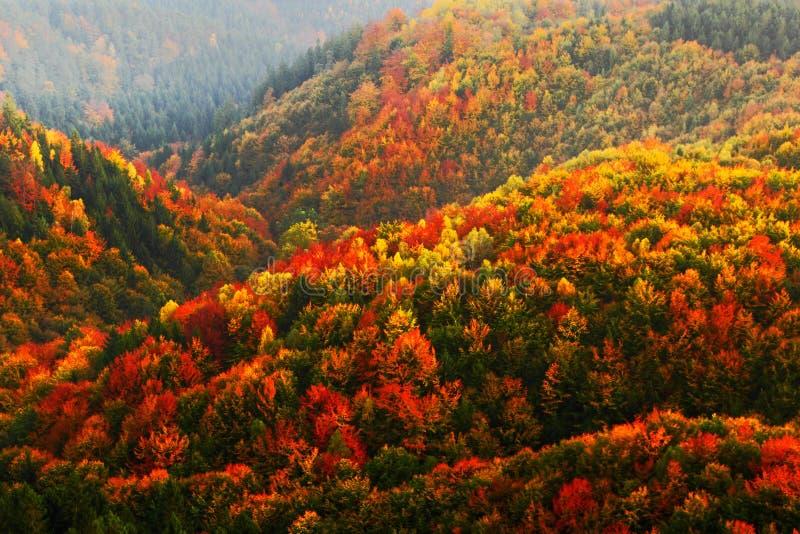 美丽的橙色和红色秋天森林秋天森林,在橙色小山,橙色橡木,加拿大桦,绿色云杉, Boh的许多树 库存图片