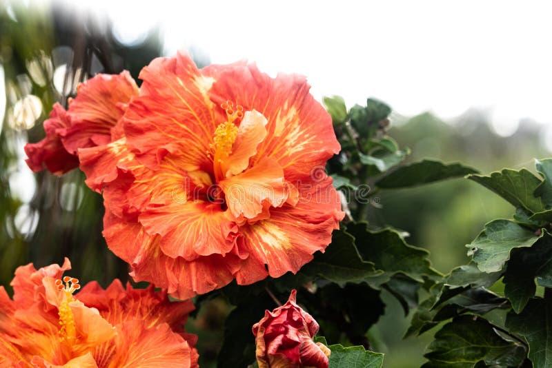 美丽的橙色和黄色木槿花开花特写镜头在盛开的在夏威夷天堂,花卉庭院背景,旅行 库存图片
