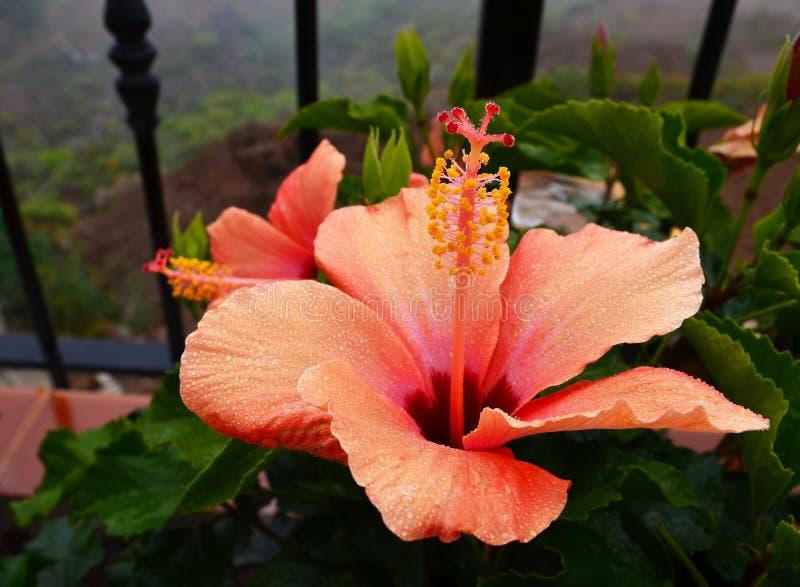 美丽的橙色木槿花中国在庭院里上升了, Gudhal, Chaba,鞋子花在一个雨天 特内里费岛,加那利群岛, Spai 免版税库存图片