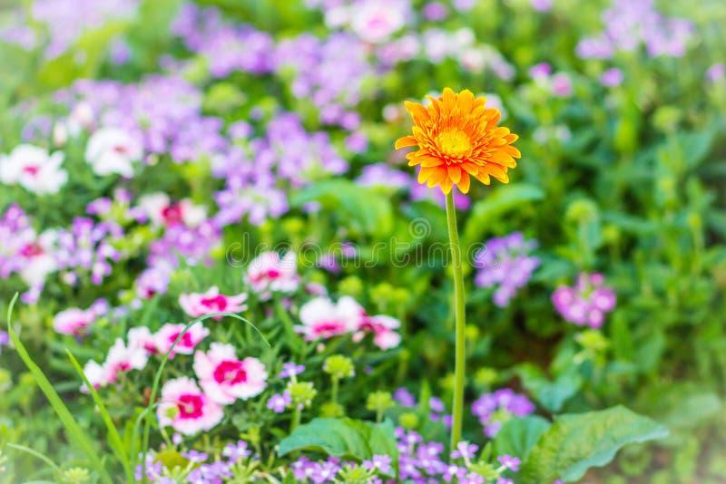 美丽的橙色杂种大丁草或Barberton雏菊在花圃开花(大丁草jamesonii hybrida) 大丁草jamesonii,也k 库存图片