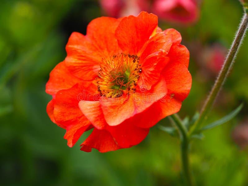 美丽的橙色水杨梅花,品种猩红色暴风雨 库存照片