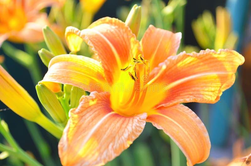美丽的橙色百合在庭院里 免版税库存照片
