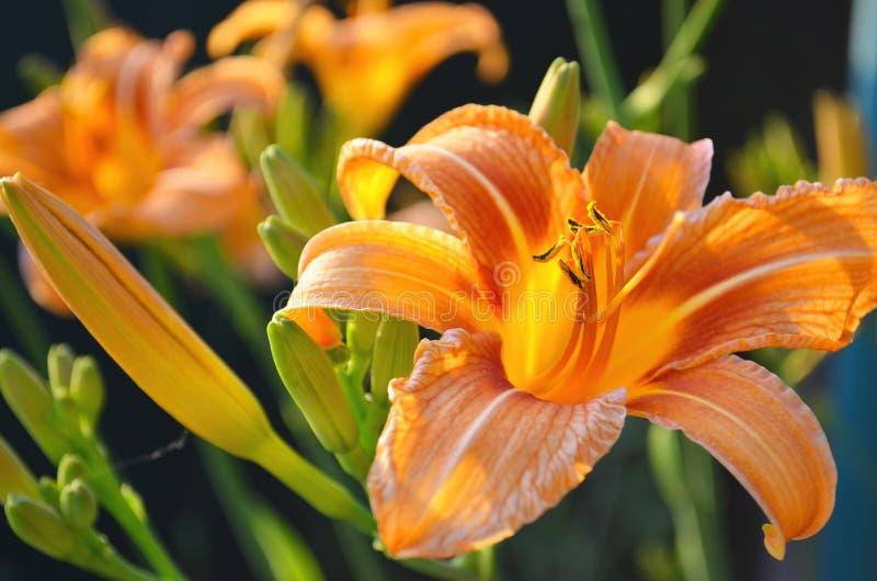 美丽的橙色百合在庭院里 库存图片