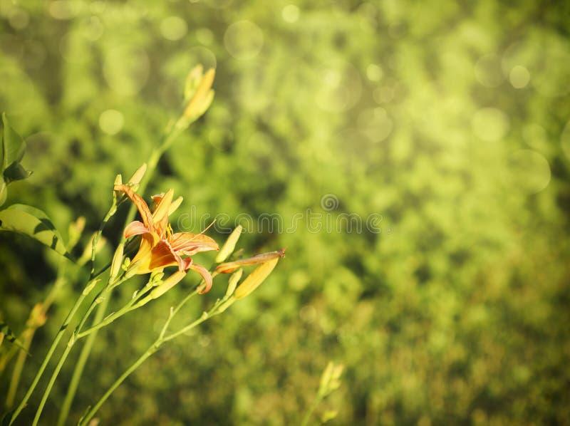 美丽的橙色百合花 背景开花本质 免版税库存照片