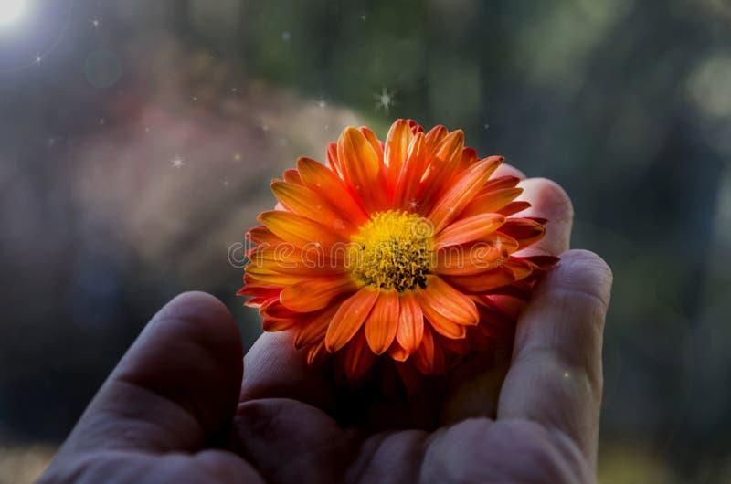 美丽的橙色花在手边 免版税库存照片