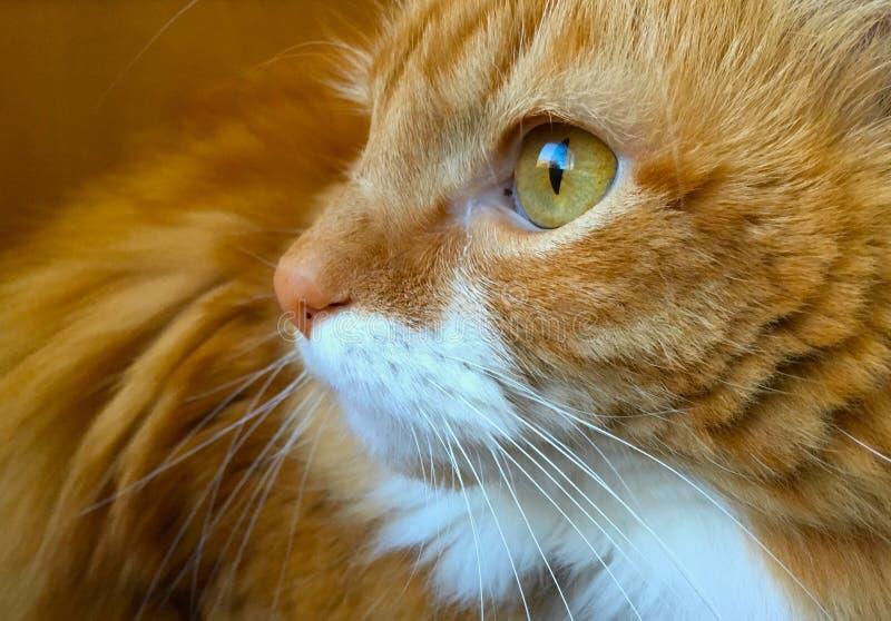 美丽的橙色虎斑猫特写镜头面孔、嫉妒和身体,向左转 库存图片