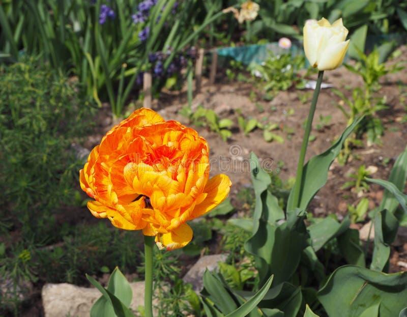美丽的橙色郁金香在庭院里 库存照片