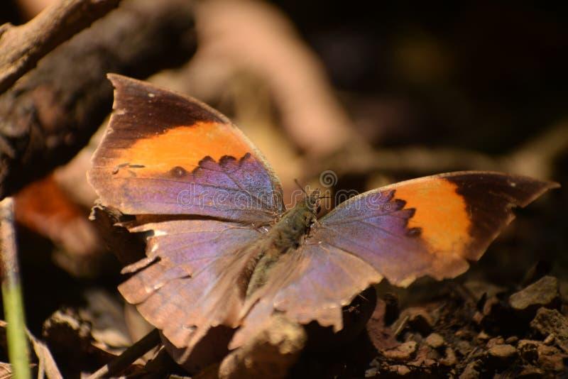 美丽的橙色oakleaf kallima inachus蝴蝶 免版税图库摄影