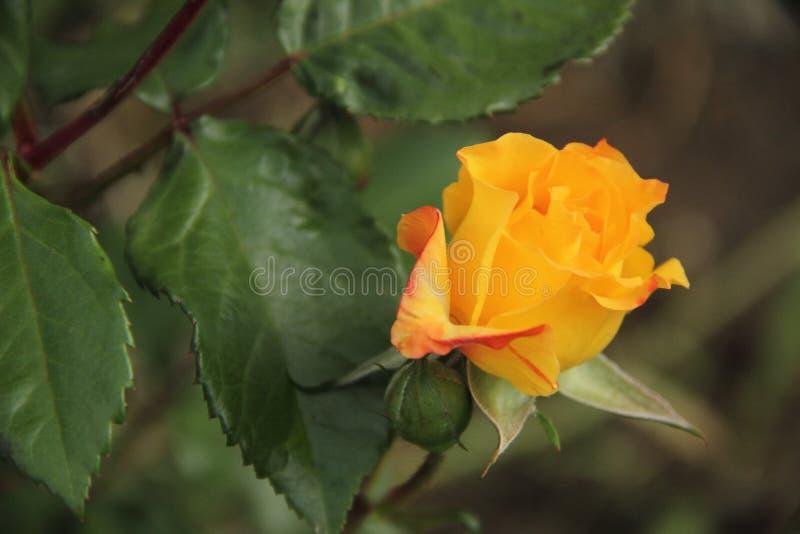 美丽的橙黄玫瑰色花在庭院里 免版税库存照片