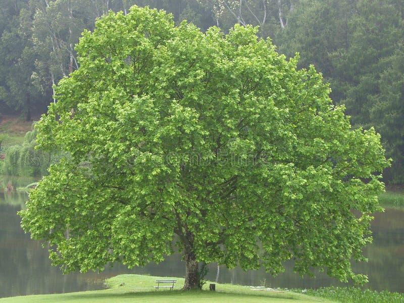 美丽的橡树 库存照片