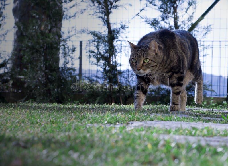 欧洲特级性交图片_美丽的欧洲猫在庭院里移动. 草坪, 本质.
