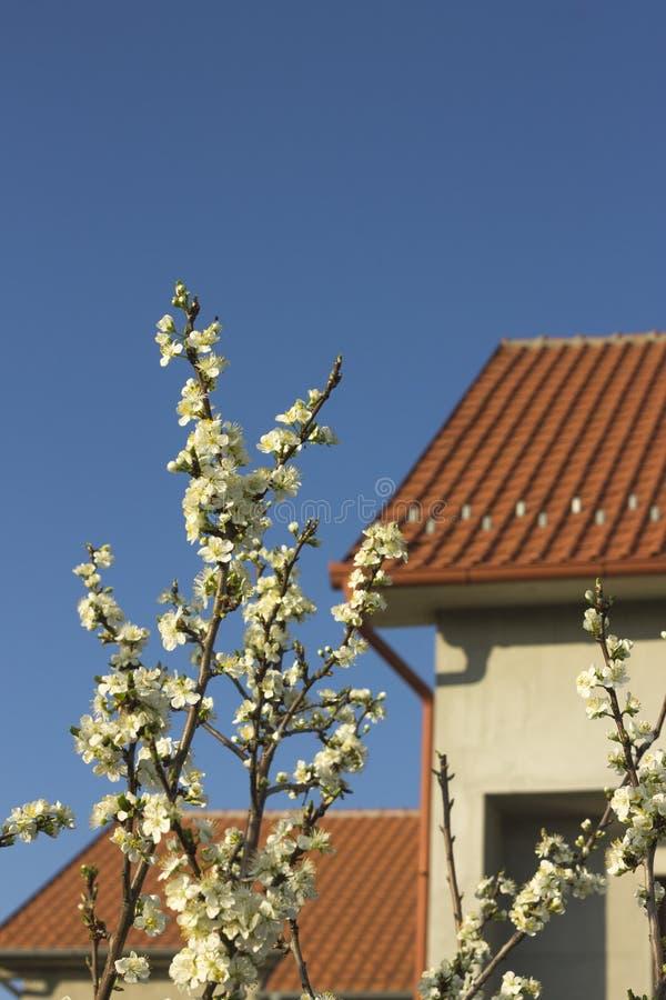 美丽的欧洲花可以本质onobrychis pratensis salvia春天viciifolia 库存图片